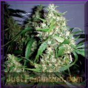 Barneys Farm Auto Critical Rapido buy female skunk seeds